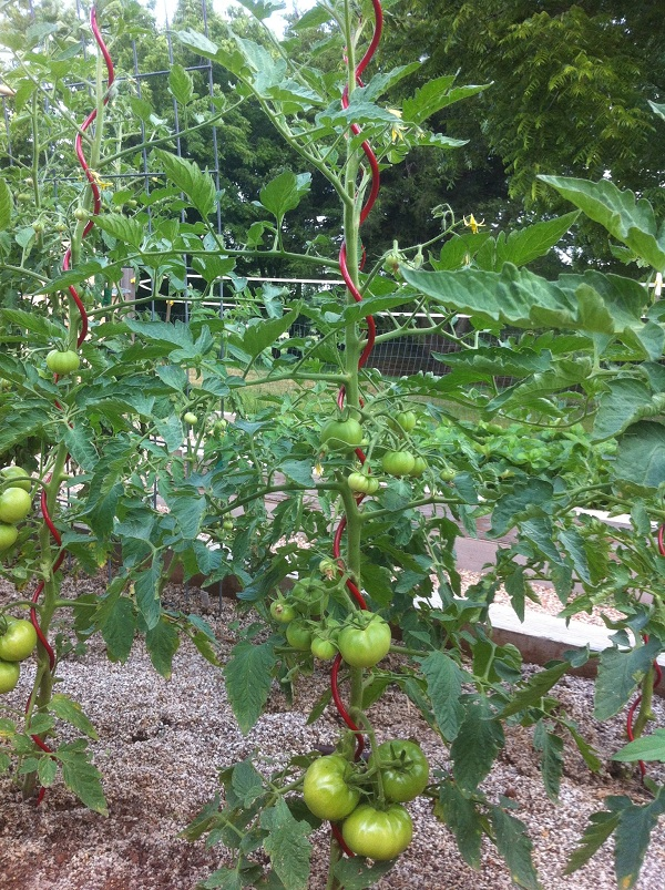 Spiral tomato trellis is simple and compact.