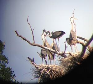 baby blue herons