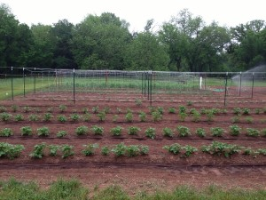 Foreground are 4 rows of potatoes. The first will be dug early as new potatoes.