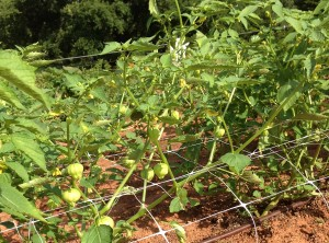 tomatillo on flat trellis producing fruit