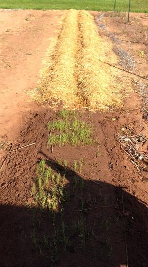 40 foot rows of garlic, shallot and 10 foot seed bed.