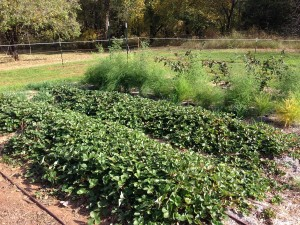 Strawberry, Asparagus and Blackberry in perennial section of garden