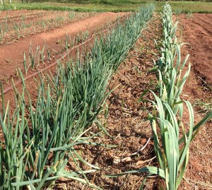 The onion patch with nice looking garlic and red shallot. Click to enlarge.
