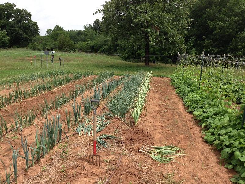 June 1st Shallot harvest