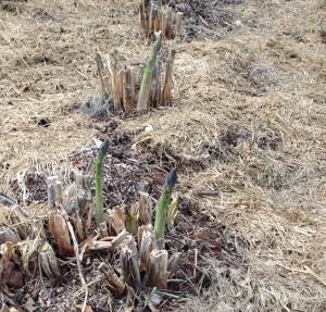 may asparagus